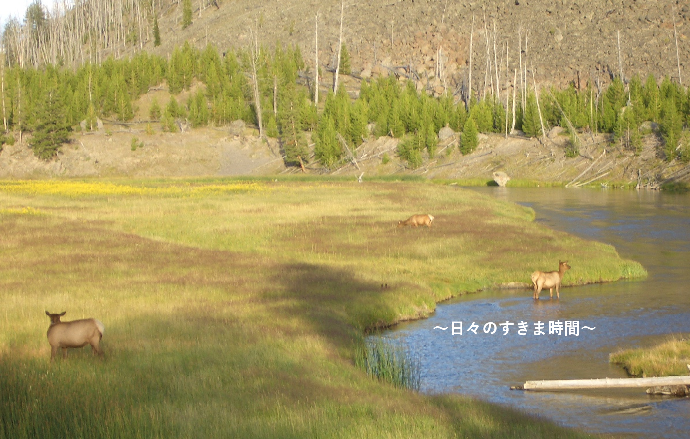 イエローストーン国立公園ミュール鹿